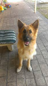 belgian shepherd victoria australia rehome a pet adopt a pet rescue a pet the pet directory