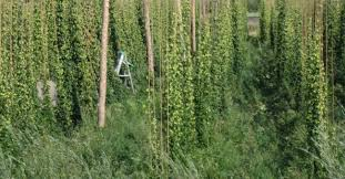 7 steps to growing your own hops craft beer u0026 brewing magazine