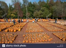 Burts Pumpkin Farm 2015 by Pumpkin Patch Farm In North Georgia Usa Stock Photo Royalty Free