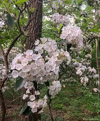 kalmia latifolia mountain laurel kalmia latifolia rockaway r wma nj june 11