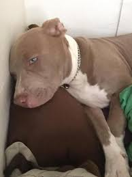 american pitbull terrier wanted color help blue champagne or blue fawn pitbulls go pitbull