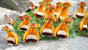 slipper flower calceolaria uniflora calceolaria darwinii darwin s slipper flower