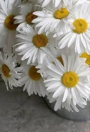 Daisy The Flower - daisies white meadow summer mood 64786 640x1136 margaritas