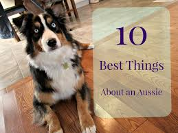 buy a australian shepherd 10 best things about an australian shepherd youtube
