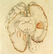 نظریه پردازان قرن 19 تغییرات فشار خون مغزی را عامل خواب می دانستند