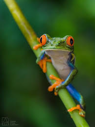 eyed tree frog premier artists collection