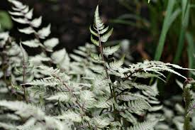 silver foliage pictures plants with silvery leaves