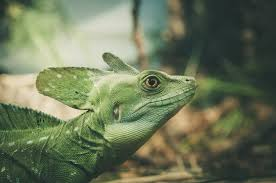 free stock photos of iguana pexels