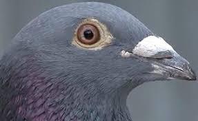 cuisine des pigeons voyageurs bolt le pigeon qui valait 310 000 euros