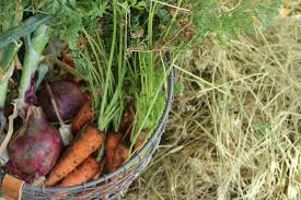 Green Root Vegetable - 13 root cellar alternatives the prairie homestead