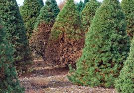 why are my pine trees turning brown msu extension