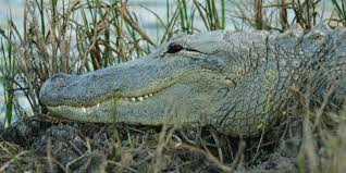 bbc earth it is surprisingly rare for an alligator to kill a