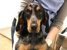 bluetick coonhound rescue georgia bluetick coonhound dog for adoption in grovetown ga adn 564967
