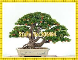 high grade plants mini taiwanese small pearl cherry seeds bonsai