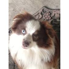 australian shepherd breeders near me little toy aussies of texas miniature australian shepherd breeder