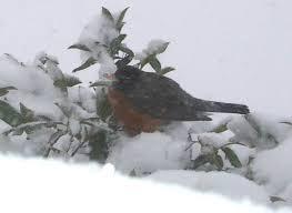 Seeking Robin How Do Robins Keep Warm In Winter