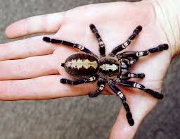 the gooty tarantula can be found in several parts of india and it