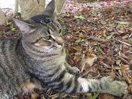 hemingway u0027s six toed cats survive irma still have nine lives