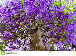 tree with purple flowers tropical tree with purple flowers stock photo image 72120830
