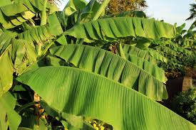banana facts health benefits and nutritional value