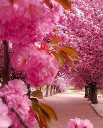 cherry blossom tree facts sion switzerland luxury freak pic doounias www infinitealoe com