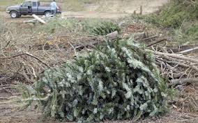 cambria residents should take care in disposing of christmas trees