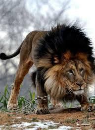 the 25 best black lion ideas on pinterest melanistic lion lion