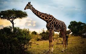 giraffe hd wallpapers wallpaper wiki