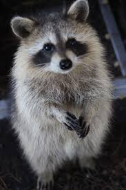 997 best raccoons images on pinterest wild animals baby animals