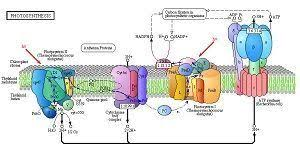 Where Do The Light Independent Reactions Occur Difference Between Light And Dark Reactions In Photosynthesis