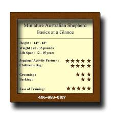 australian shepherd in apartment mini aussies intelligent versatile dogs well c mini aussies