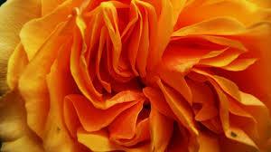 flower petals orange flower petals macro up golden yellow