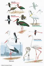 plate 5 ibis storks spoonbill and flamingo a field guide to