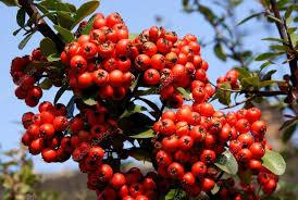 berries of ornamental bush in garden stock photo manka