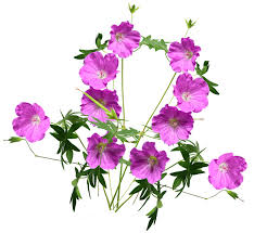 geranium nature identical fragrance oil geranium perfume
