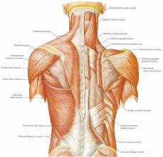 Right Side Human Anatomy One Back Workout That Involves All Muscles Of The Back