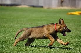 belgian shepherd el paso we offer the best german shepherd puppies in the world