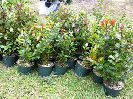 native hawaiian plant nursery residents invited to join in second annual u201cnative tree plant out