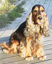 imagenes de english cocker spaniel english cocker spaniel wikipedia