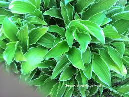 very small hosta