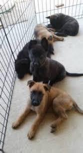 belgian shepherd x kelpie german shepherd x dogs u0026 puppies gumtree australia free local