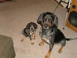 bluetick coonhound in michigan bluetick coon hound pics michigan sportsman online michigan