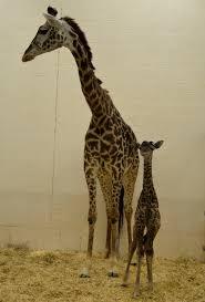 baby giraffe born at cincinnati zoo name ideas accepted on facebook