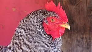 Backyard Chicken Blog by Blog