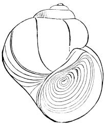 pond snail clipart etc