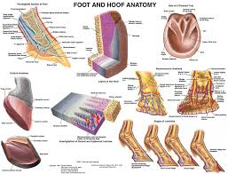 Sole Of The Foot Anatomy Amazon Com Equine Foot And Hoof Anatomy Chart Horse Tbd Sports