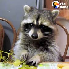 the dodo this raccoon eats grapes just like a person does