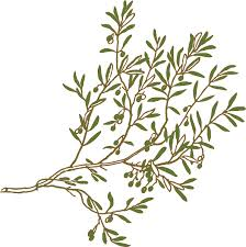 olive tree clip art cliparts and others art inspiration