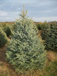 modern design white spruce tree shop all types of real