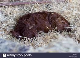 Barn Floor by Newborn Devon Red Ruby Calf Sleeping In Straw On Barn Floor Stock